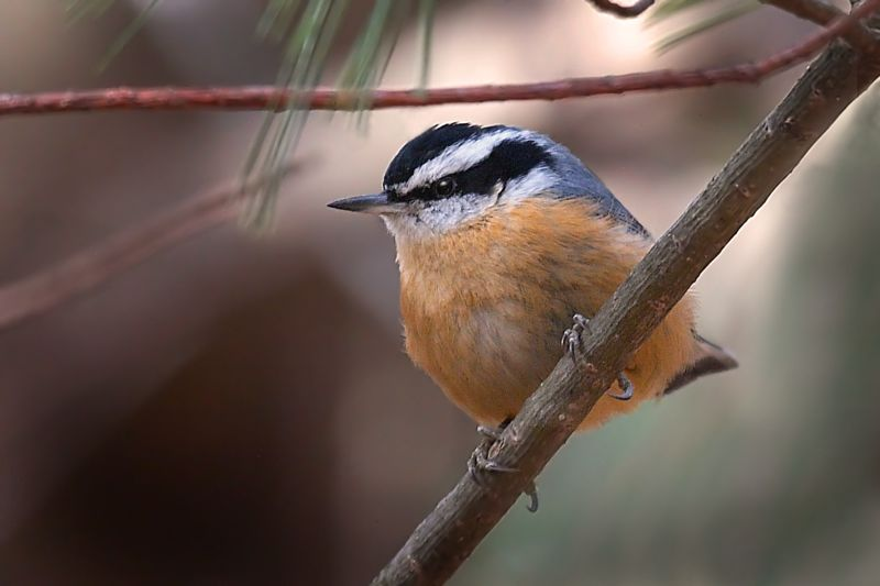 Whitebreasted nuthatch videos photos and facts  Sitta