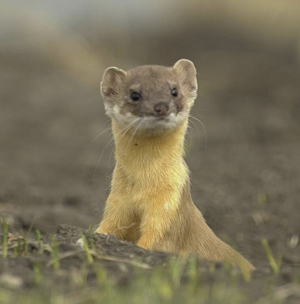 i>M. frenata</i></a>, long-tailed weasel
